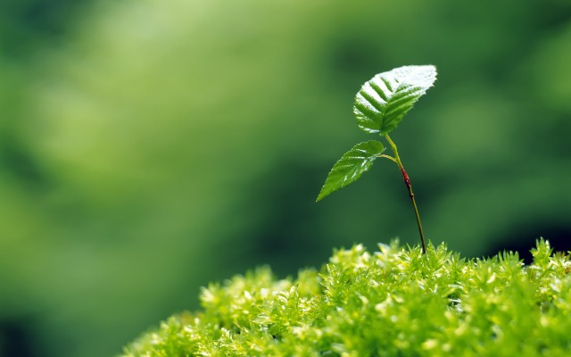 lille treet
